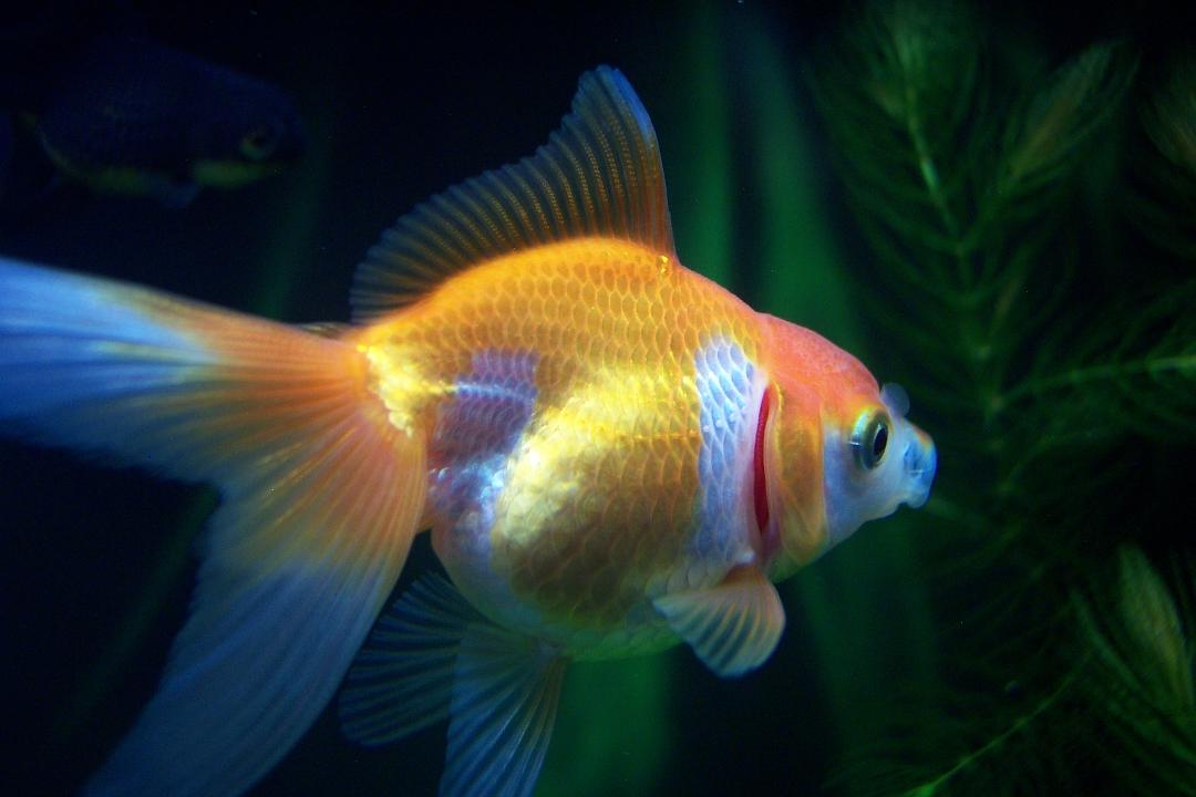 Pesci rossi for Piscina per pesci rossi