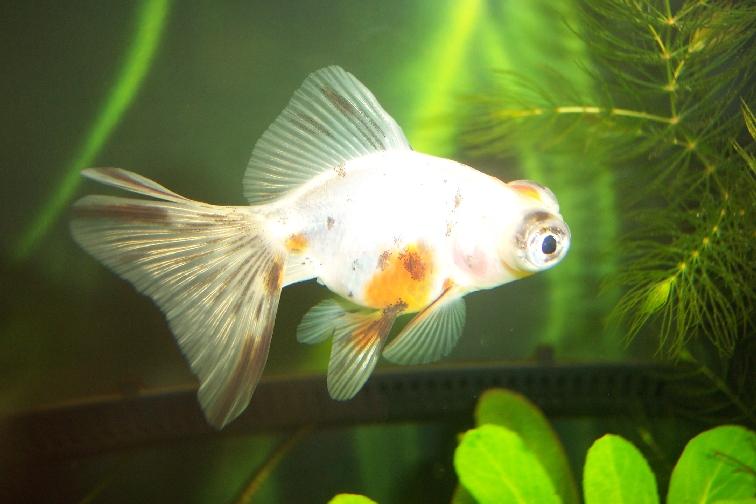Quale di questi pesci consigliate per il laghetto di pesci for Dove comprare pesci rossi