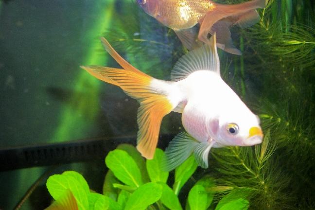 Quale di questi pesci consigliate per il laghetto di pesci for Piscina per pesci rossi