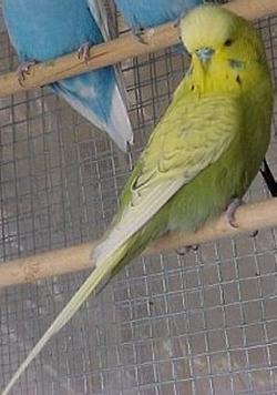 Origine del colore i pappagalli - Diversi tipi di barba ...