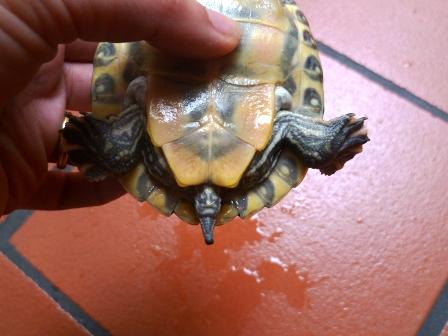 Sesso tartarughe d 39 acqua for Tartarughe razze