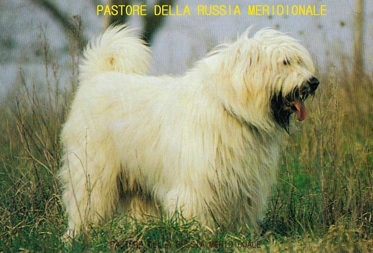Cane da pastore della russia meridionale cane di for Cane da pastore della russia meridionale