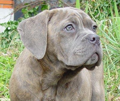 Cane corso pagina 14 - Cane occhi azzurri ...