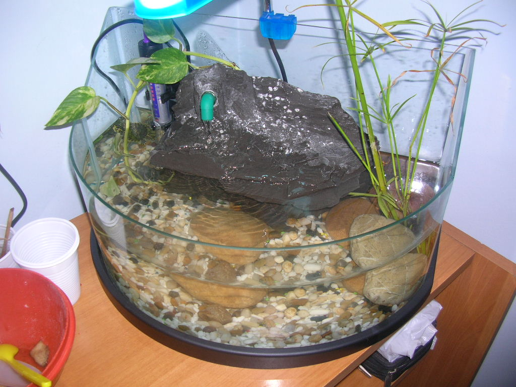 Le mie 3 tartarughe d 39 acqua devono vivere in un for Tartarughe vaschetta