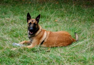 Pastore belga malinois for A quanti mesi i cani cambiano i denti