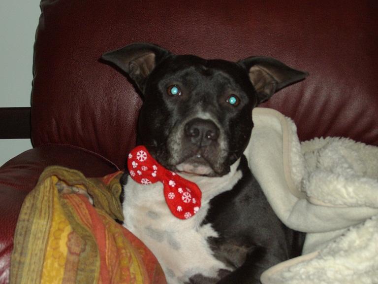 La Credenza Della Nonna Alano : American staffordshire terrier [archivio] pagina 19 il forum di