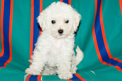 Vi presento willy barboncino toy bianco for Barboncino nano toy