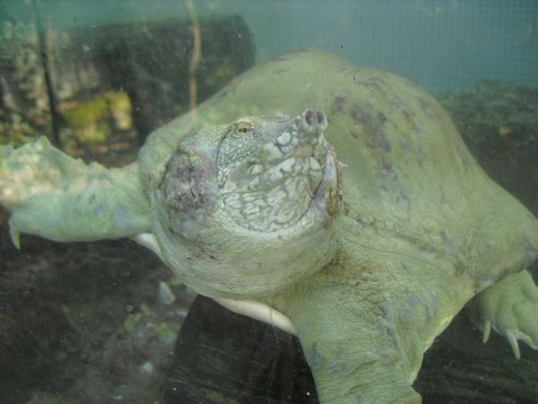 Tartaruga Dal Guscio Molle.Tartaruga Cinese Dal Guscio Molle