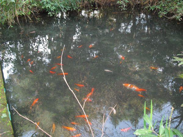 Laghetto pesci rossi for Pesci da laghetto
