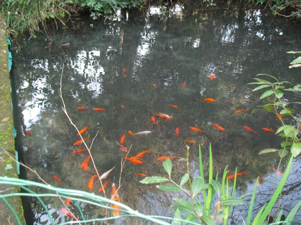Laghetto pesci rossi for Riproduzione pesci rossi in laghetto