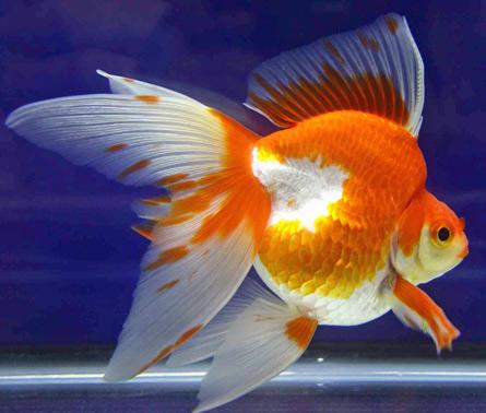 Variet pesce rosso for Pesce oranda