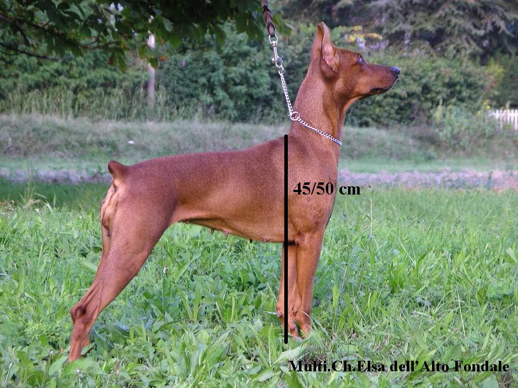 Carattere del pinscher pagina 2 for Pinscher carattere