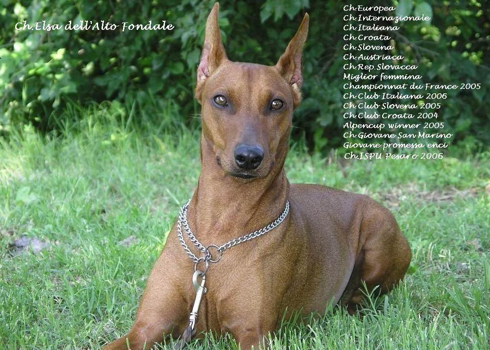 Pitbull o bull terrier yahoo answers for Pinscher medio