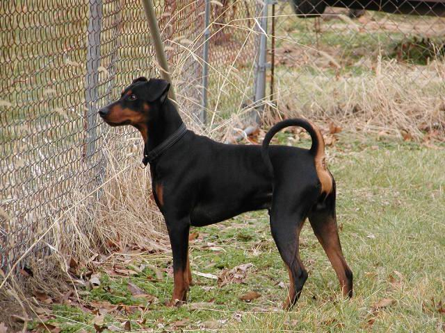 Il pincher for Pinscher carattere