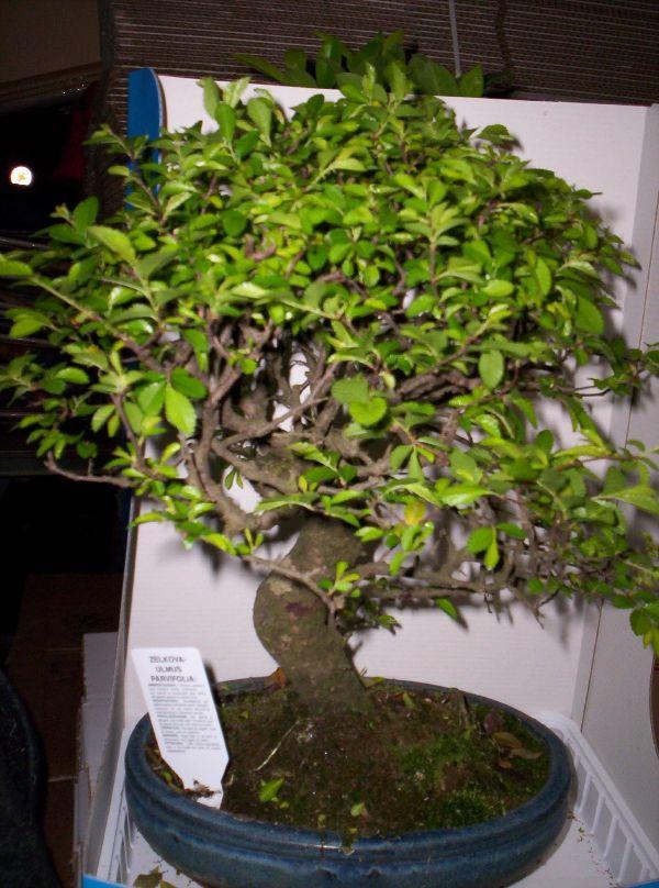 L 39 angolo verde consigli vari per giardini piante for Bonsai comprare