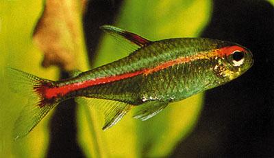 Neon tetra nero resistente acquaportal forum for Neon pesci prezzo