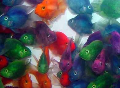 Pesci colorati artificialmente - Pesci e acquario a letto ...