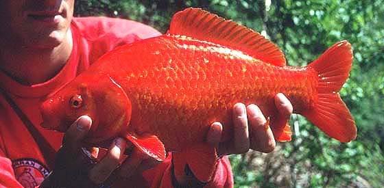 Inseguimento continuo pesce for Dove comprare pesci rossi