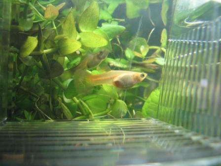 Ciao a tutti la mia pesciolina guppy incinta mi sa tra for Sala parto pesci