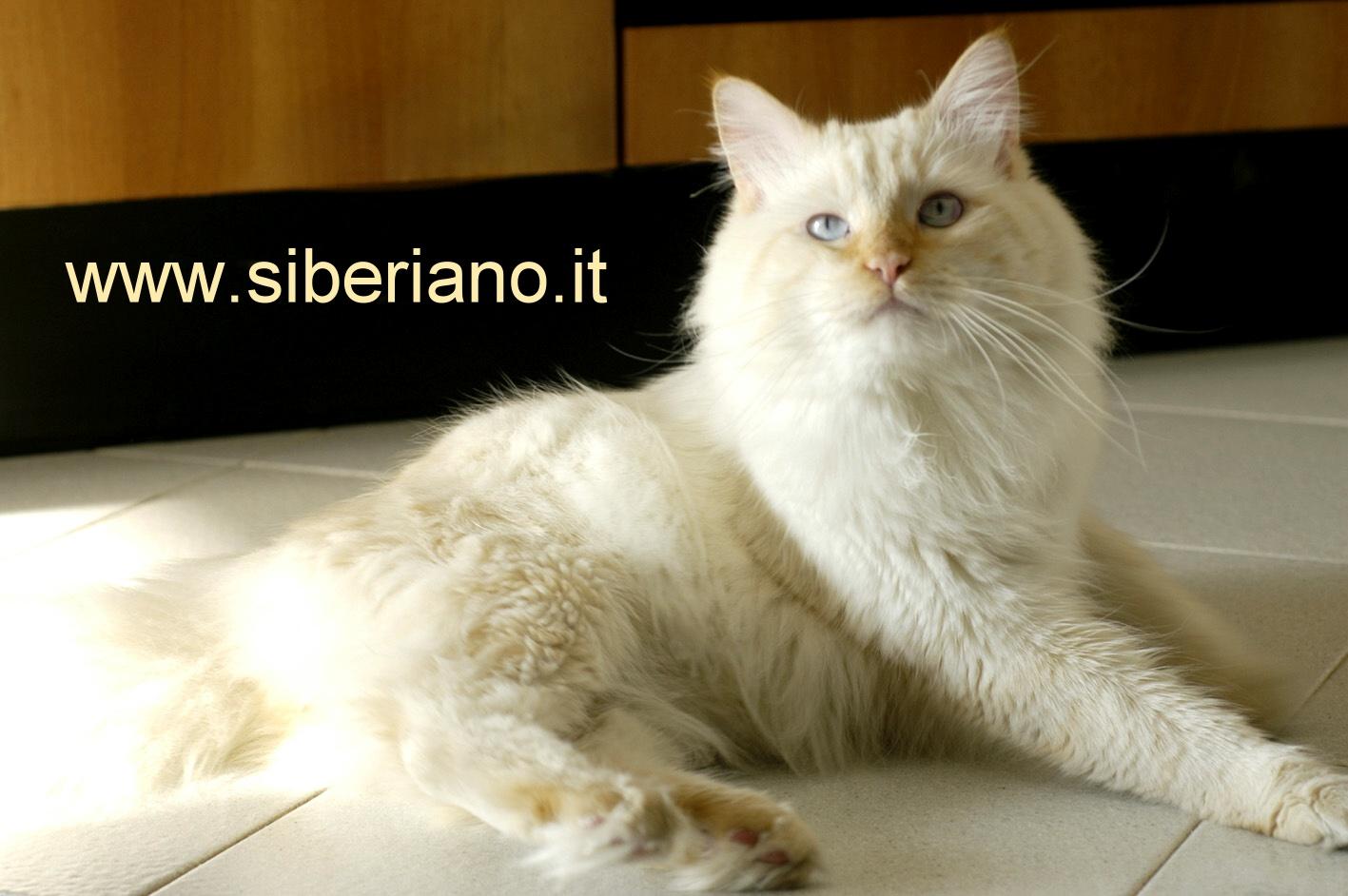 I Siberiani Archivio Il Forum Di Inseparabile Dove Possiamo